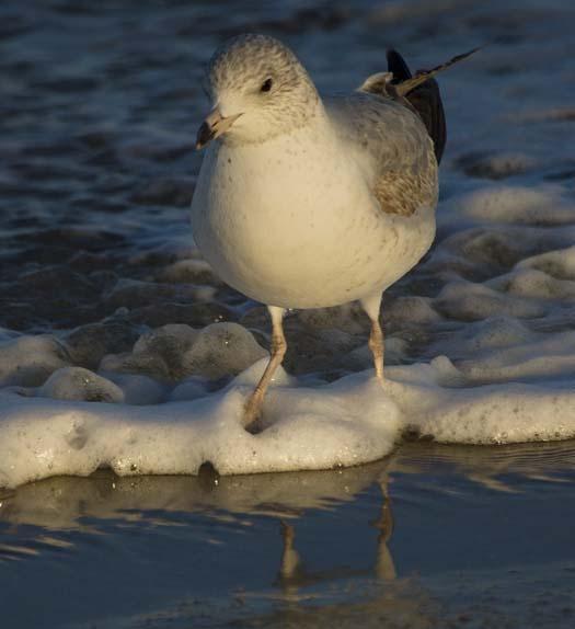cape-sunset-gulls-sanderlings-3-1-2008_8960copy1.jpg