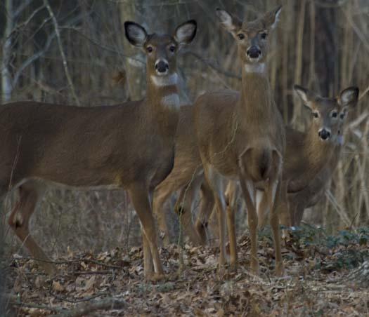deer-2-25-2008_8832copy1.jpg
