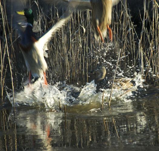 ducks-at-bombay-2-24-2009_022409_3339