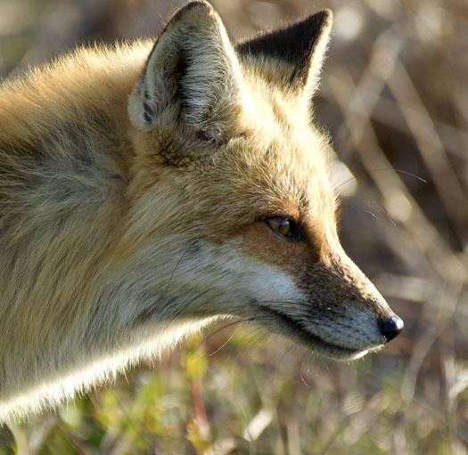 eagle-fox-heron-moon-4-9-2009_040909_6862