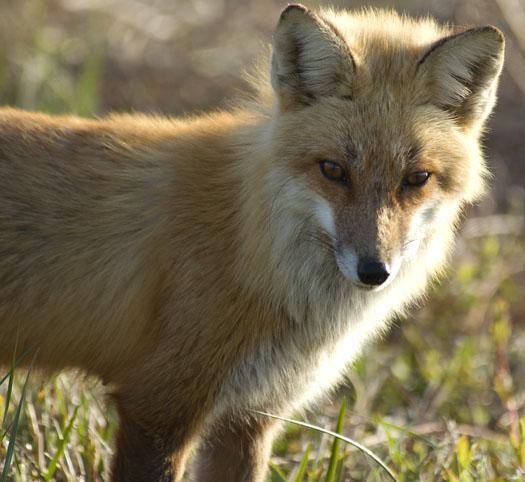 eagle-fox-heron-moon-4-9-2009_040909_6866