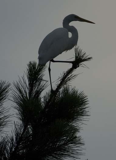 egret-roost-9-13-2008_091308_9077.jpg