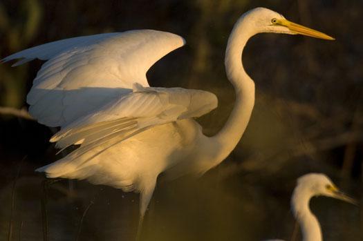 egrets-10-2-2008_100208_0058.jpg