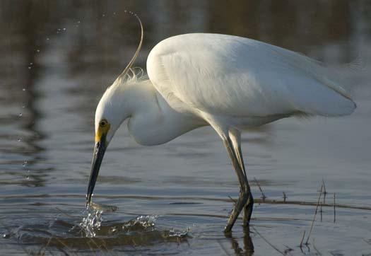 egrets-4-21-2008_052108_7147.jpg