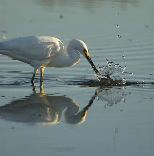 egrets-5-24-2008_052408_8035.jpg
