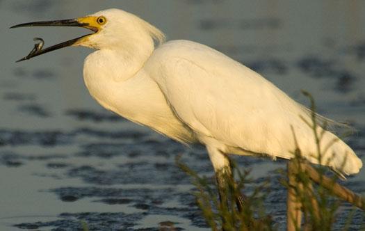 egrets-6292009_062909_2914