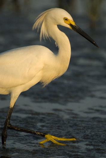 egrets-6292009_062909_2962