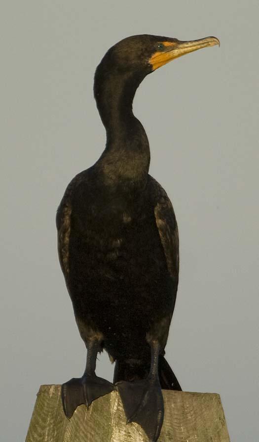 egrets-cormorant-9-7-2008_090708_8962.jpg