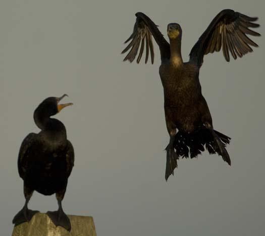 egrets-cormorant-9-7-2008_090708_8967.jpg