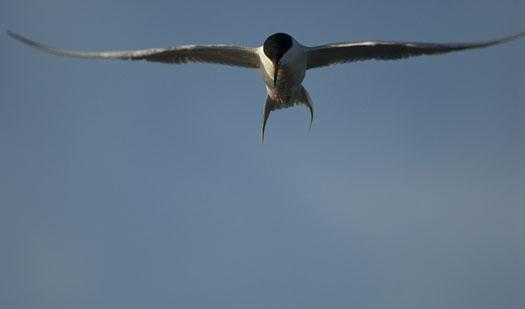 egrets-fishing-4-16-2009_041609_7091