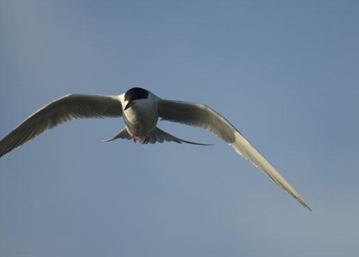 egrets-fishing-4-16-2009_041609_7098
