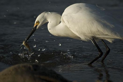 egrets-fishing-4-16-2009_041609_7137