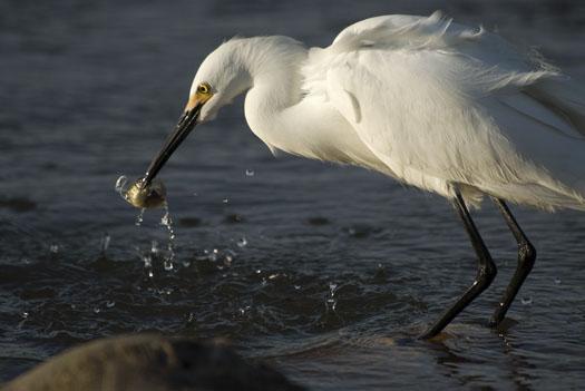 egrets-fishing-4-16-2009_041609_7138