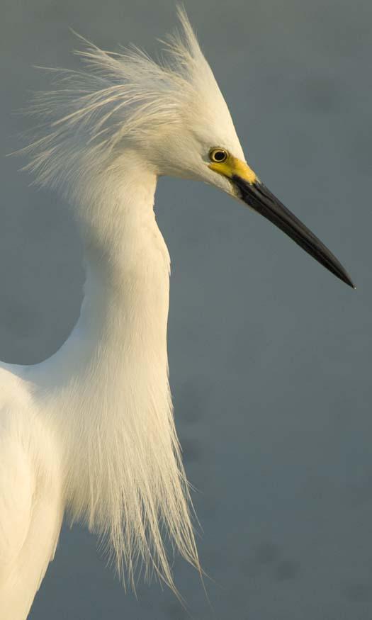 egrets-fishing-6-1-2008_060108_1845.jpg