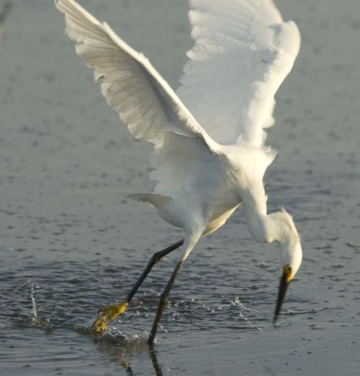 egrets-fishing-6-1-2008_060108_2006.jpg
