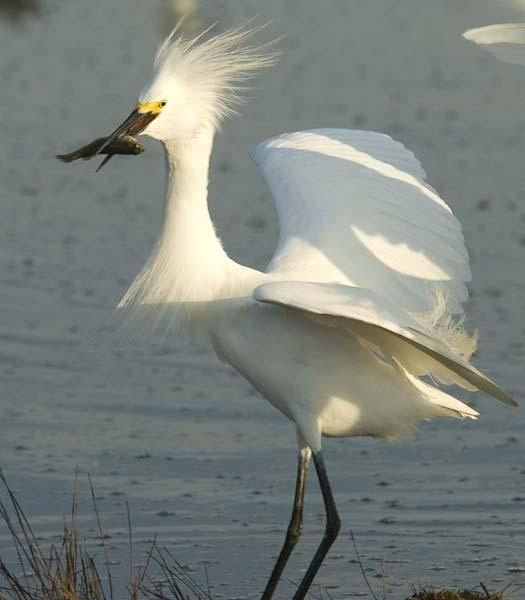 egrets-fishing-6-1-2008_060108_2021.jpg