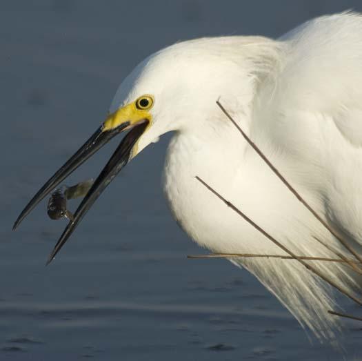 egrets-fishing2-6-1-2008_060108_2172.jpg
