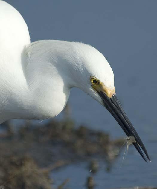 egrets-fishing2-6-1-2008_060108_2285.jpg