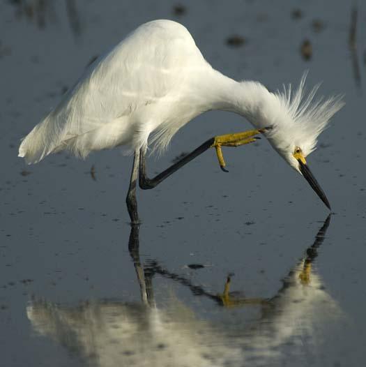 egrets-fishing2-6-1-2008_060108_2349.jpg