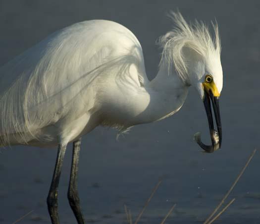 egrets-fishing2-6-1-2008_060108_2355.jpg