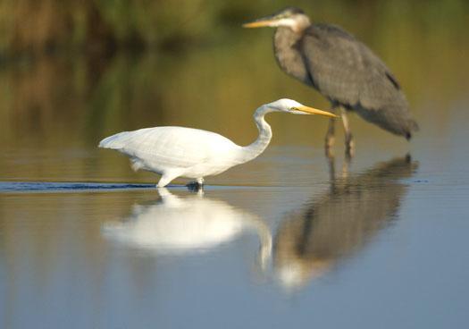 egrets-herons-9-30-2008_093008_9809.jpg