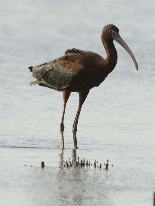 egrets-ibis-6-30-2008_063008_4674.jpg