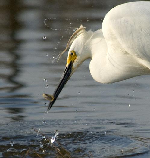 egrets-shorebirds-4-21-2008_052108_71571