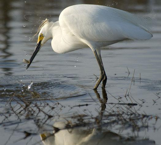 egrets-shorebirds-4-21-2008_052108_71572