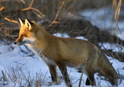 fox-in-snow-at-bombay-3-4-2009_030409_4420