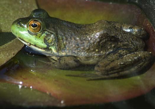 frog-4-26-2008_042608_5189.jpg