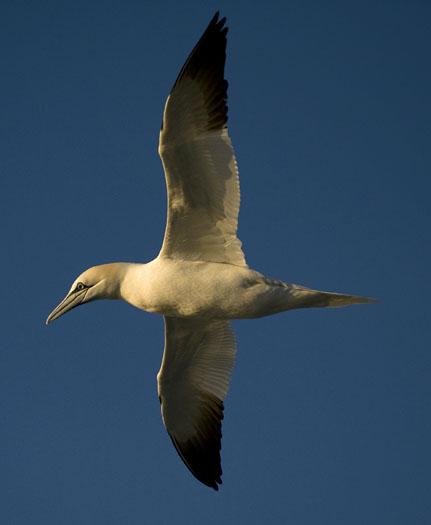 gannets-gulls-3-23-2009_032309_5782