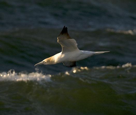 gannets-gulls-3-23-2009_032309_5813