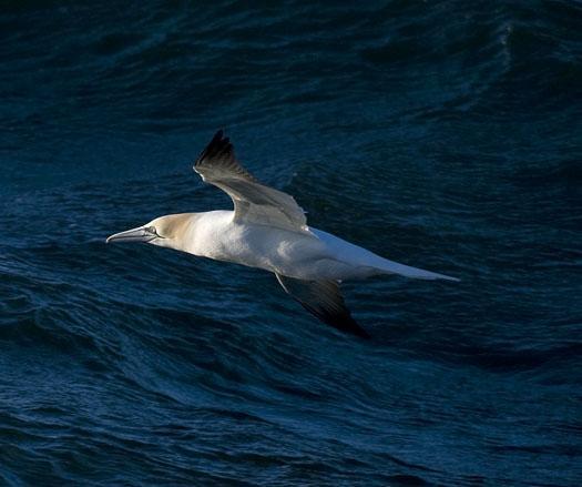 gannets-gulls-3-23-2009_032309_5816