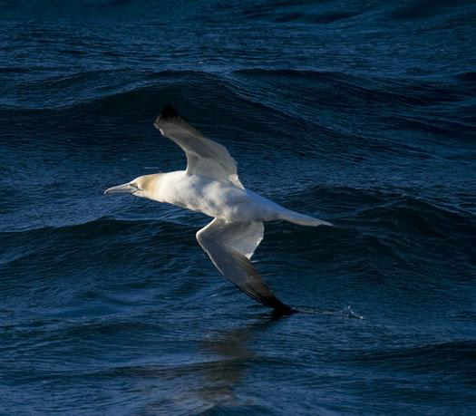 gannets-gulls-3-23-2009_032309_5817