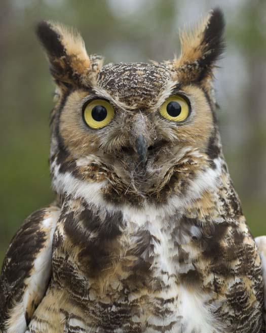 great-horned-owl-4-1-2008_1875.jpg