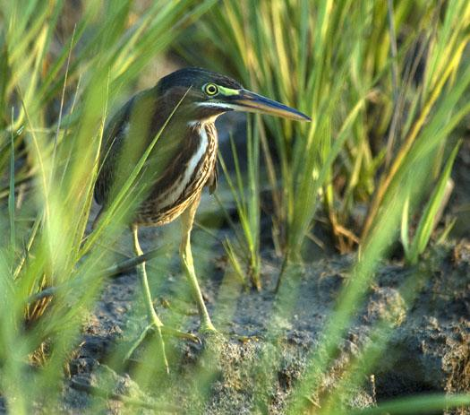 green-heron-cast-net-sunset-8272009_6295