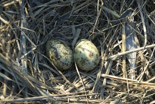 gull-nests-oyster-catcher-7-6-2009_070609_3216