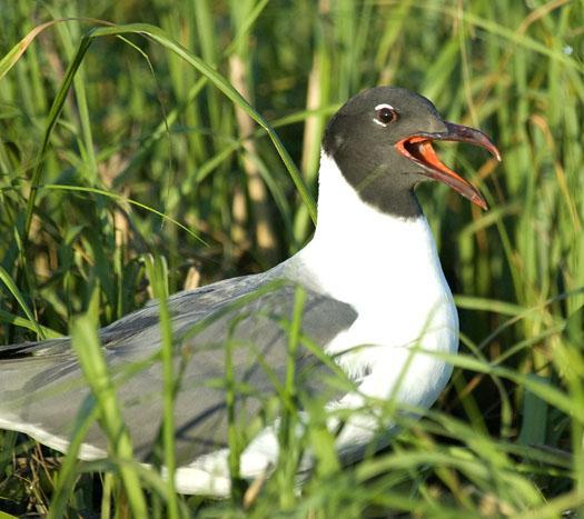 gull-nests-oyster-catcher-7-6-2009_070609_3278