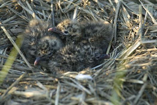 gull-nests-oyster-catcher-7-6-2009_070609_3340