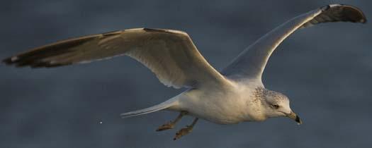 gulls-3-21-2008_1435.jpg