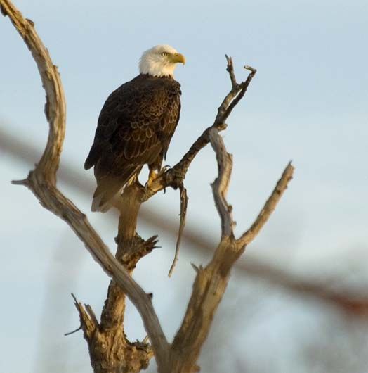 gulls-eagles-primehook-11-17-2007_1774copy1.jpg