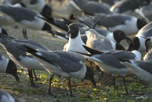 gulls-pelican-egrets-7-18-2008_071808_7180.jpg