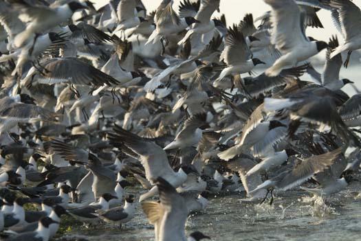 gulls-pelican-egrets-7-18-2008_071808_7266.jpg