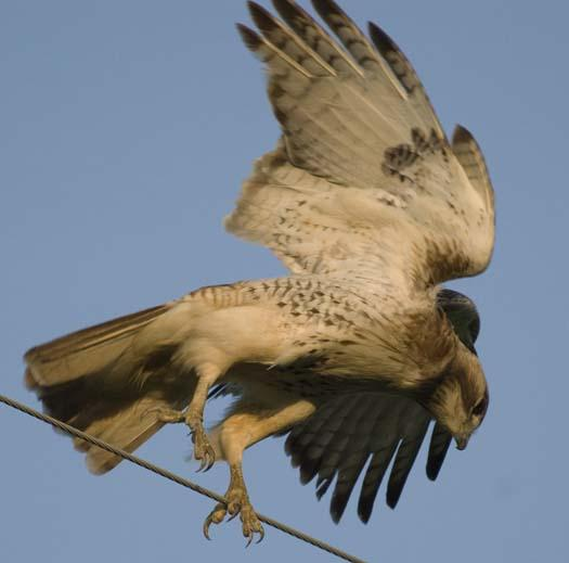 hawk-with-mouse-4-29-2008_042908_5458.jpg