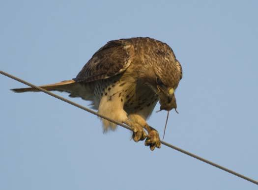 hawk-with-mouse-4-29-2008_042908_5488.jpg
