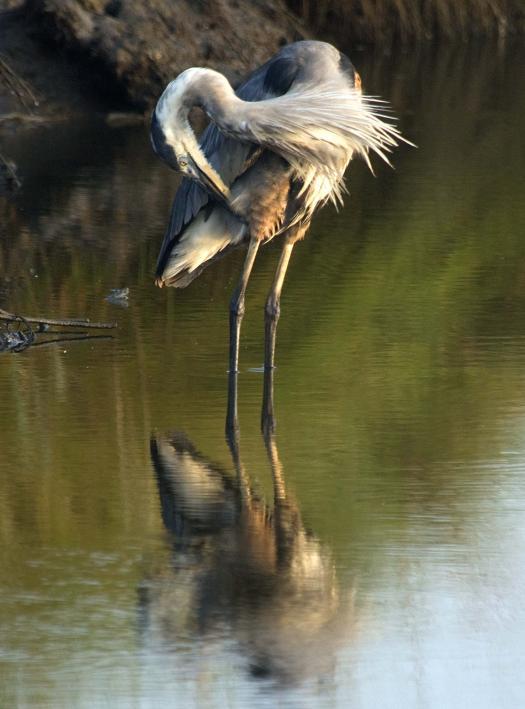 heron-egrets-8-16-2008_081608_8241.jpg
