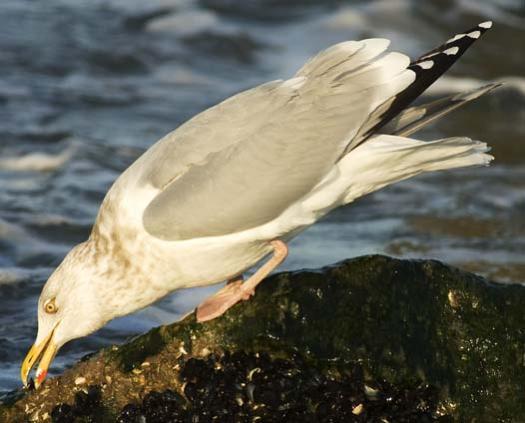 herring-gull-3-2-2008_9200.jpg