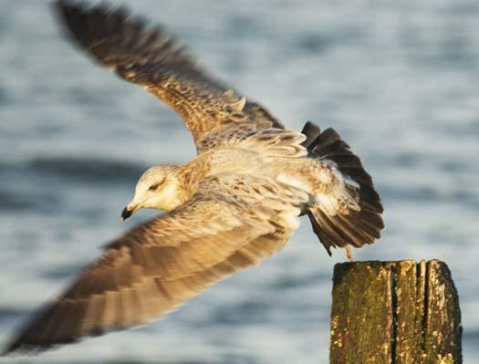 herring-gull-3-2-2008_9334.jpg