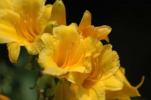 lillies-024copy1.jpg