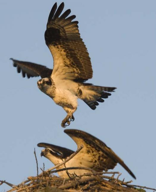 osprey-3-12-2008_0022.jpg